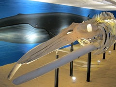 Bryde's whale skeleton; Natural History Museum