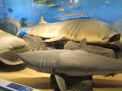 Basking, Great White and Whale Shark display at Jeju's Folklore & Natural History Museum
