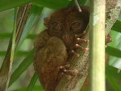 Tarsiers are nocturnal and are known to become suicidal if stressed (they will repeatedly bash their heads in)