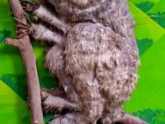 Robby tarsier; Aproniana Souvenir Shop