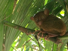 Spotting a tarsier (owl monkey), the world's smallest primates