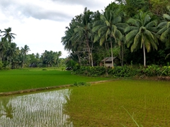 Rice paddy scenery near Mag-Aso Waterfall