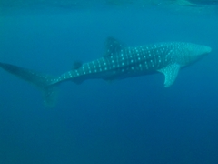 First glimpse of a hungry whale shark at the 6 am feeding; Oslob