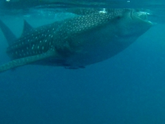 Oslob is the easiest place in the world to see a whale shark and it is well established on the tourist trail. Get there early to avoid disappointment