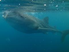 A whale shark feeding on shrimp and krill
