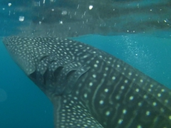 Detail of a feeding whale shark