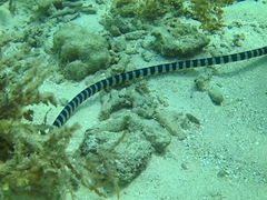 Yellow-lipped sea krait, a poisonous sea snake that we frequently spotted while snorkeling Panglao
