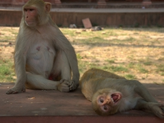 Agressive monkeys accost visitors for food; Taj Mahal