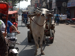 Cow transport; Chandni Chowk