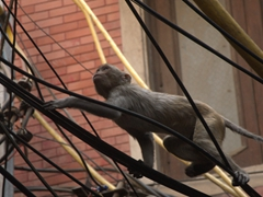 One of 30,000 unruly monkeys that calls Delhi its home