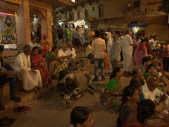 No one bothers the cow spectator watching the evening aarti ritual