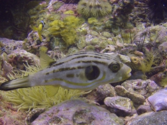 Narrow-lined Manila pufferfish
