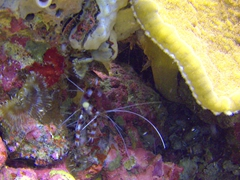 Banded Coral Cleaner Shrimp
