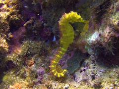 Yellow seahorse; Gato Island