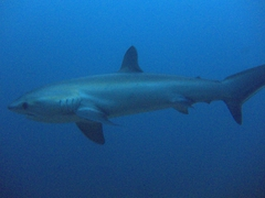 Thresher sharks are a sight to behold...we felt so lucky to get circled by one multiple times on our last dive!