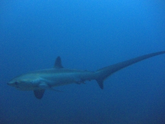 Spotting our first Thresher Shark; Monad Shoal