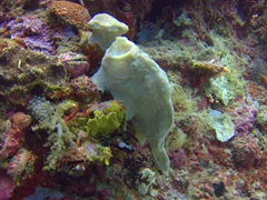 Commerson's frogfish (giant frogfish) with an open mouth