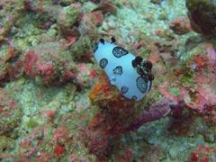Dotted nudibranch (Jorunna funebris)