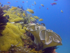 Beautiful coral gardens make diving Malapascua a joy to behold!