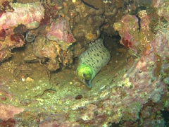 Resident eel; MV Doña Marilyn