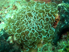 Bubble Honeycomb Coral (Euphyllia Ancora)
