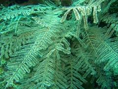 Fern coral
