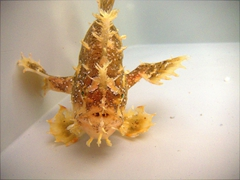 The very rare sargassum frogfish, which lives among sargassum seaweed. This frogfish was released at Malapascua Island