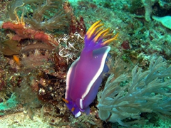Purple and yellow nudibranch