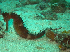 Seahorse searching for food