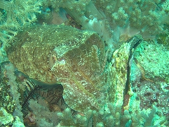 Cuttlefish doing a great job camouflaging itself