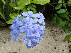 Blue flowers in our garden; Aabana Resort