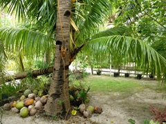 Coconut tree; Aabana Resort