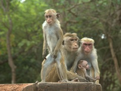 A family of toque macaque monkeys, unique for their unusual whorl of hair that grows from a central crown. These monkeys are endemic to Sri Lanka