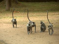 A troop of gray langur monkeys; Lankatilaka