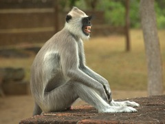 Gray langur in an angry mood
