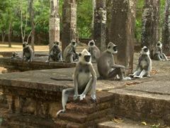 Gray langur monkeys dare visitors to disturb them at Lankatilaka ruins; Polonnaruwa