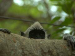 A curious gray langur monkey checks us out