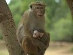 A toque macaque mother and baby; Polonnaruwa