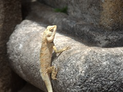 Lizard sunning itself; Medirigiriya Vatadage