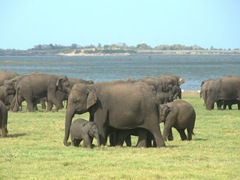 Roughly 200 elephants live at Kaudulla National Park. Every afternoon, the elephants gather to graze by the lake's edge