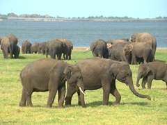 Only a handful of elephants have tusks at the Kaudulla National Park
