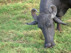 Water buffalo grazing right next to the elephants at Kaudulla National Park