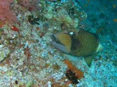 Titan triggerfish; Faafu Atoll