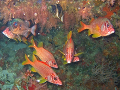Sabre squirrelfish (sargocentron spiniferum); Faafu Atoll