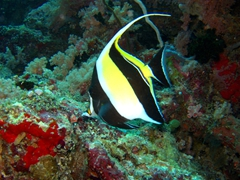 Pennant coralfish; Faafu Atoll