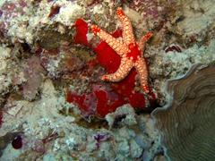 Starfish; Faafu Atoll