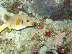 Black spotted pufferfish; Meemu Atoll