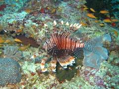 Spotfin lionfish; Meemu Atoll
