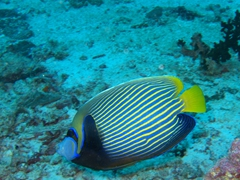 Imperial angelfish; Meemu Atoll