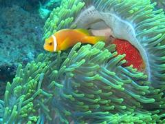 Maldive anemonefish; Meemu Atoll